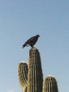 Arizona Hawk